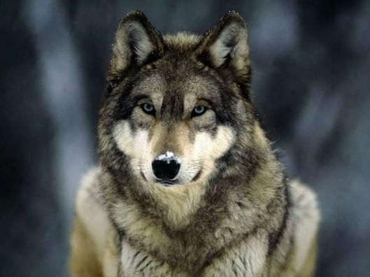 sweetest wolf